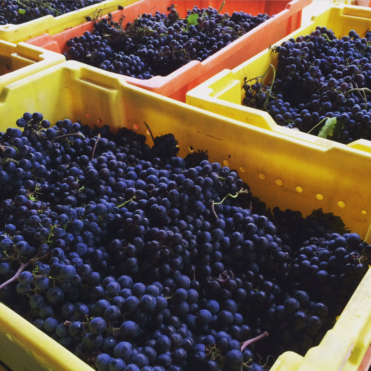 Merlot from our 2015 Harvest