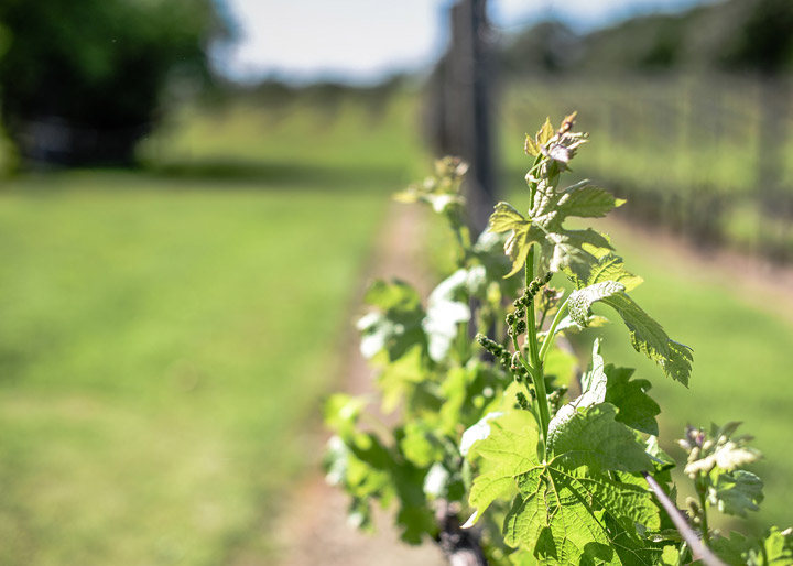 New growth in the vineyard by Allison Luzier Photography